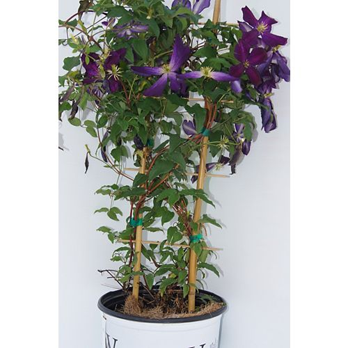 Vigne 8 po Clematis Proven Winners