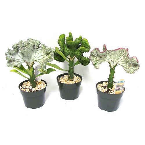 6-inch Coral Cactus