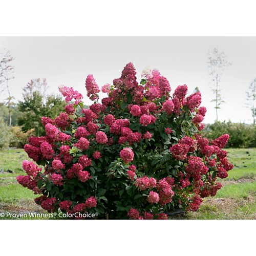 Proven Winners 19L PW Fire Light Hydrangea Tree