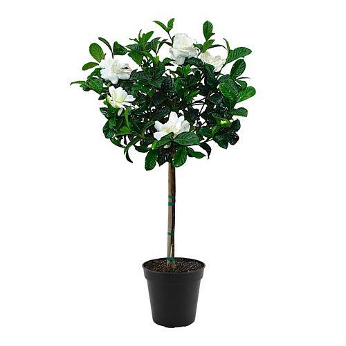 Gardenia Std 10 inch