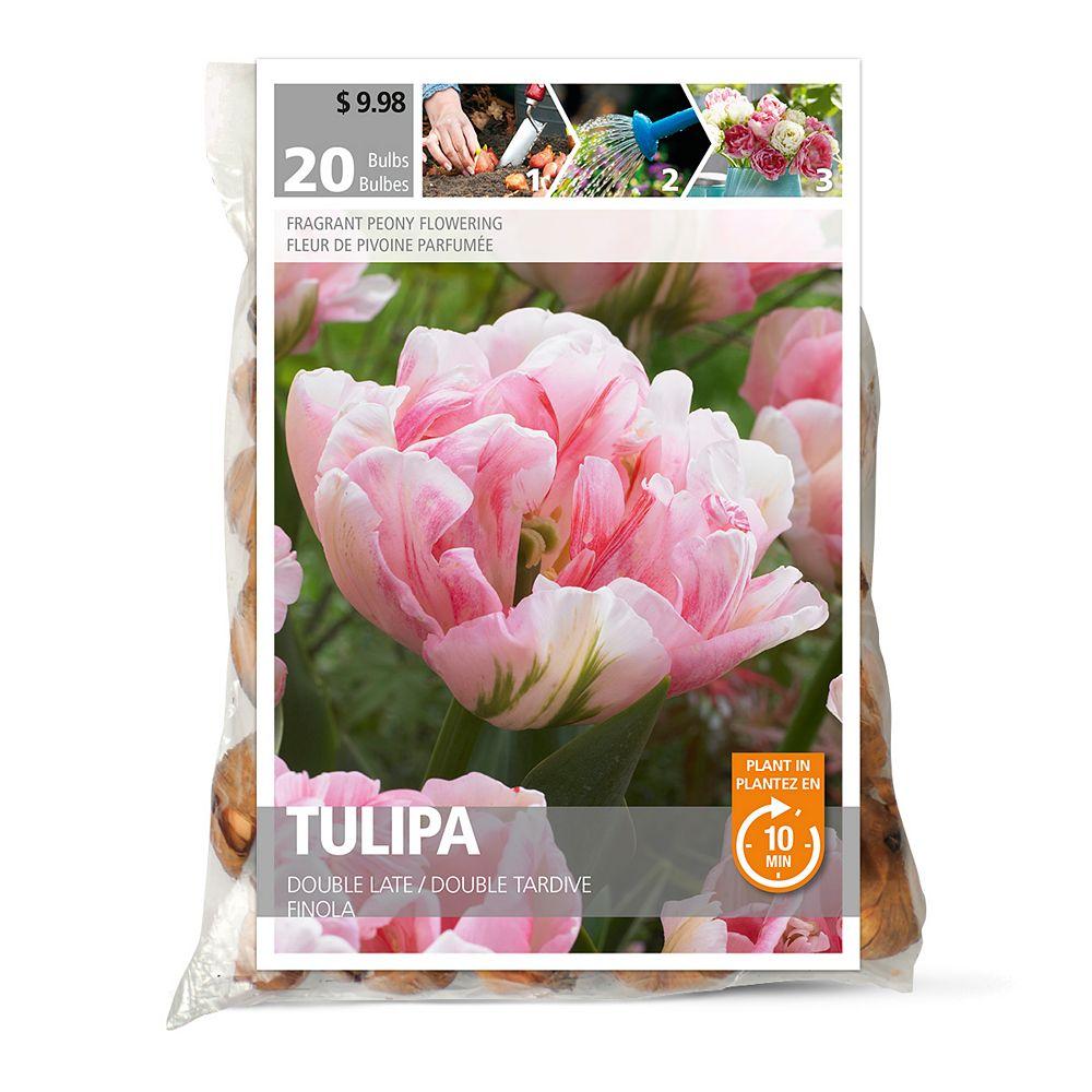 Bulbs are Easy Tulip Finola Flower Bulbs (20-Pack)