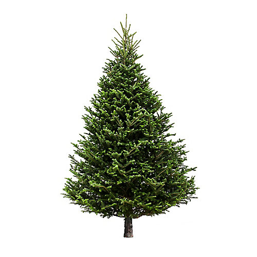6 ft. to 7 ft. Fresh Cut & Canadian-Grown Fraser Fir Christmas Tree