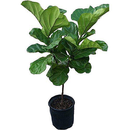 Landscape Basics 10 inch Ficus Fiddle Leaf Standard