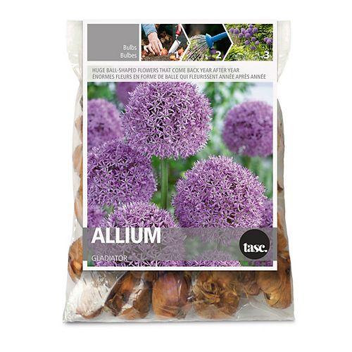 Allium Gladiator Purple Flower Bulbs (3-Pack)