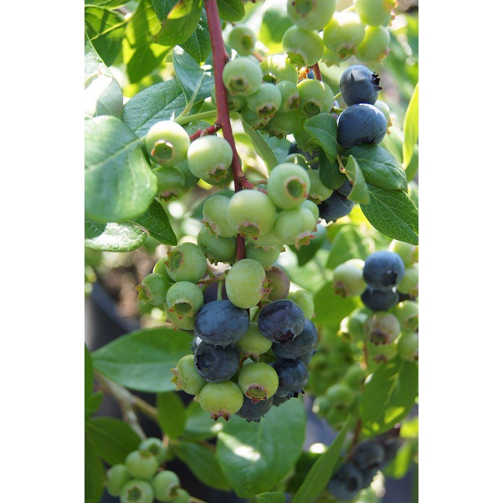 Vaccinum 6-inch Burpee Blueberry Fruit Plant