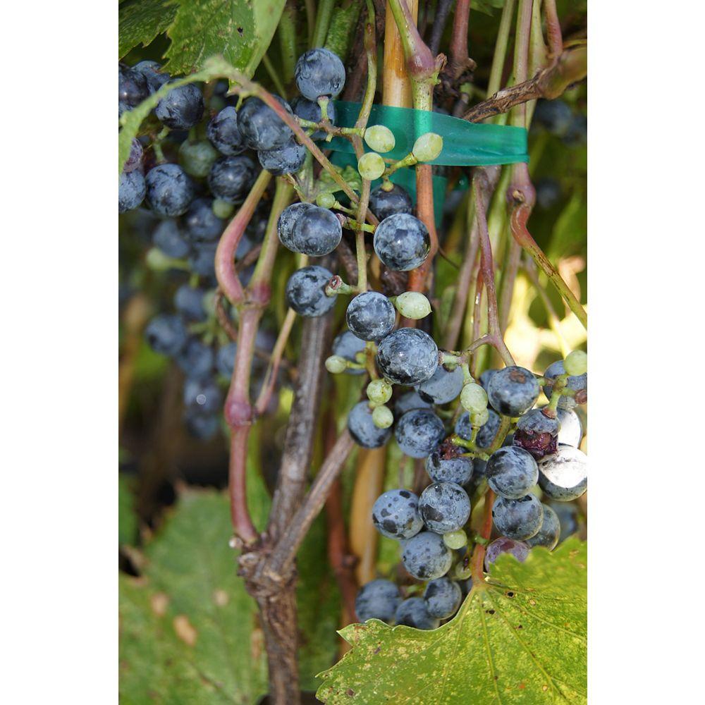 Vitis 6-inch Burpee Grape Vine Fruit Plant