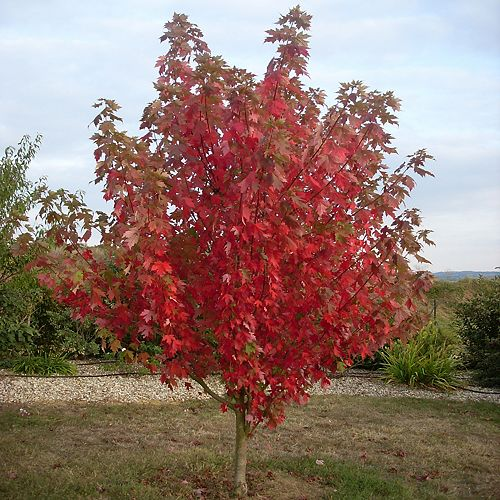 CWF 7 Gallon CWF Native Tree - Maple 'Acer rubrum'