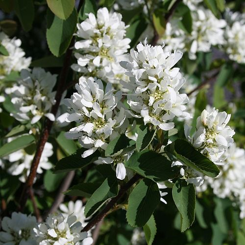 CWF 7 Gallon CWF Native Tree - Serviceberry 'Amelanchier canadensis'