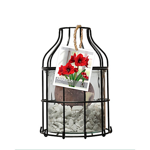 Lanterne luxueuse Amaryllis Red Lion