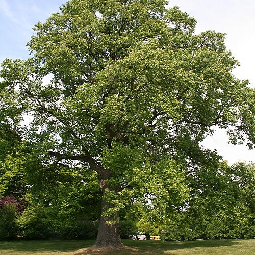 CWF 7 Gallon CWF Native Tree - Tulip 'Liriodendron tulipifera'
