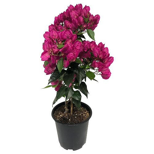 7.5-inch Standard Pink Bougainvillea Tropical Plant