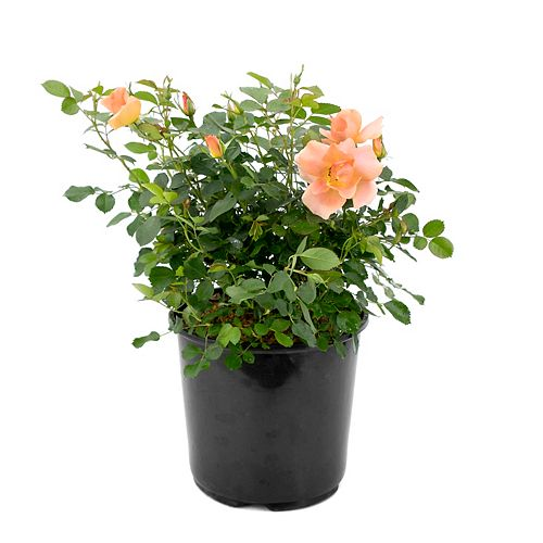 7.5L Chinook Sunrise Rose Flowering Shrub - 49th Parallel Collection