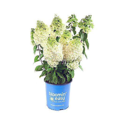 7.5L Moonrock Hydrangea (paniculata) Flowering Shrub