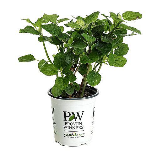 7.5L PW ColorChoice Incrediball Blush Hydrangea (arborescens) Flowering Shrub