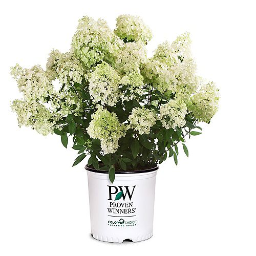 Hydrangée paniculée Bobo de Proven Winners Color Choice en 2 Gallon