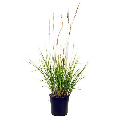 7.5L Karl Foerster Feather Reed Grass (Calamagrostis)