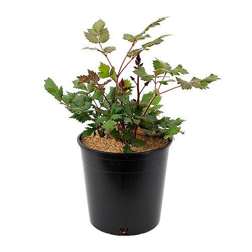 7.5L Vision in Red Astilbe Flowering Plant
