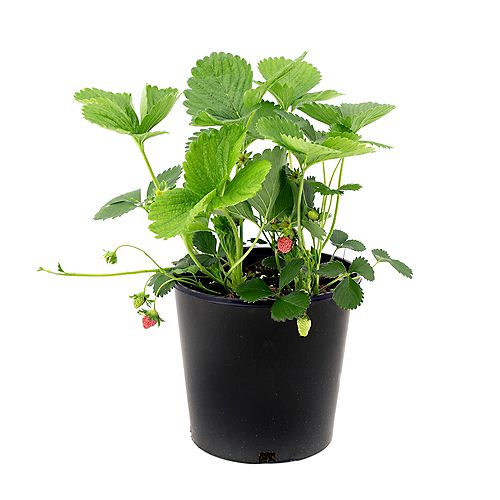 7.5L Eversweet Strawberry (Fragraria) Edible Fruit Plant