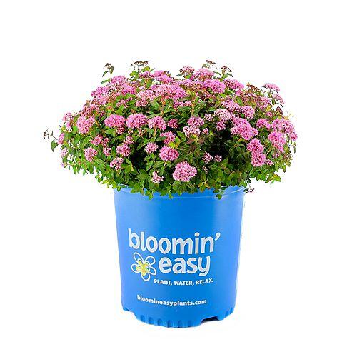 Bloomin' Easy 7.5L Poprocks Petite Spirea (Spiraea) Pink Flowering Shrub