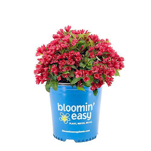 Bloomin' Easy 7.5L Crimson Kisses Weigela Flowering Shrub