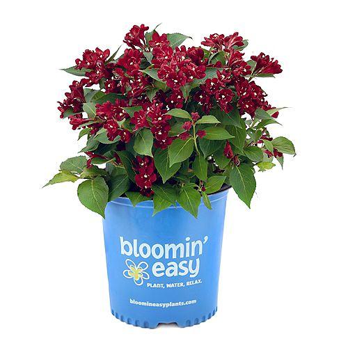 2 Gallon Weigela Maroon Swoon de Bloomin Easy