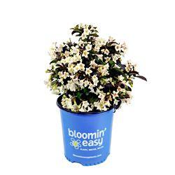 Bloomin' Easy 2 Gallon Bloomin' Easy Tuxedo Weigela
