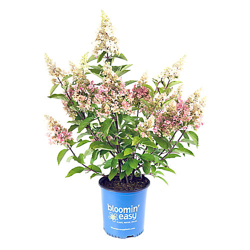 2 Gallon Bloomin' Easy Candelabra Hydrangea