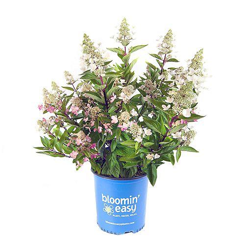 2 Gallon Hydrangée Flare de Bloomin Easy