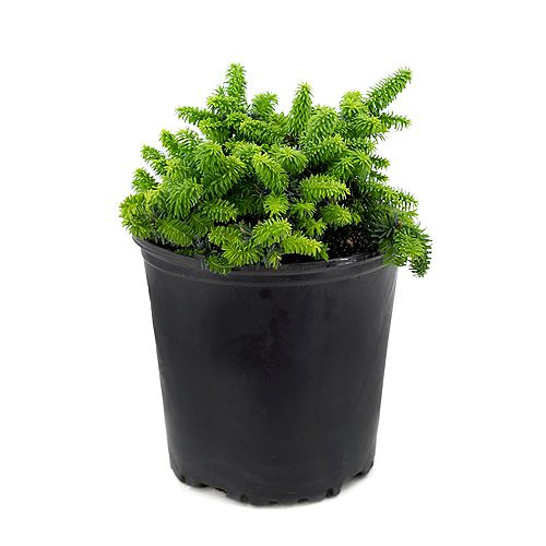7.5L Dwarf Balsam Fir (Abies) Evergreen Shrub