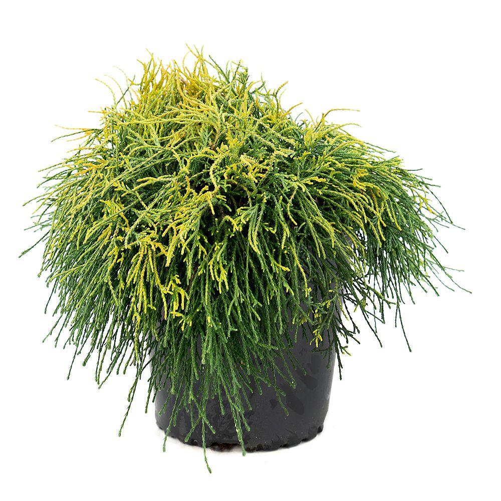 Garden Elements 7.5L Sungold Thread-Branch Cypress (Chamaecyparis) Evergreen Shrub