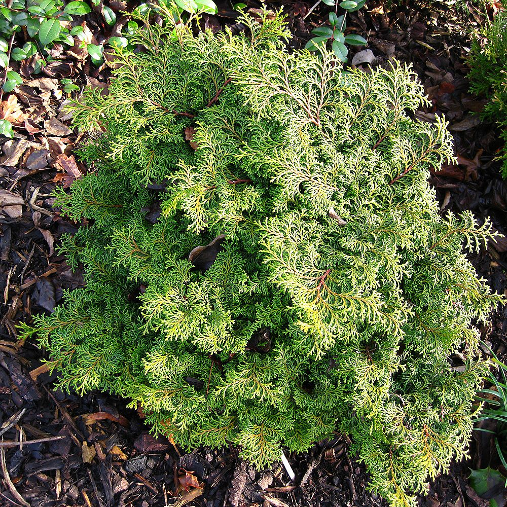 Garden Elements 7.5L Koster Hinoki Cypress (Chamaecyparis) Evergreen Shrub