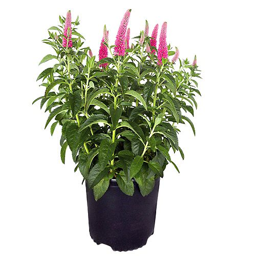 7.5L First Love Veronica Pink Flowering Plant