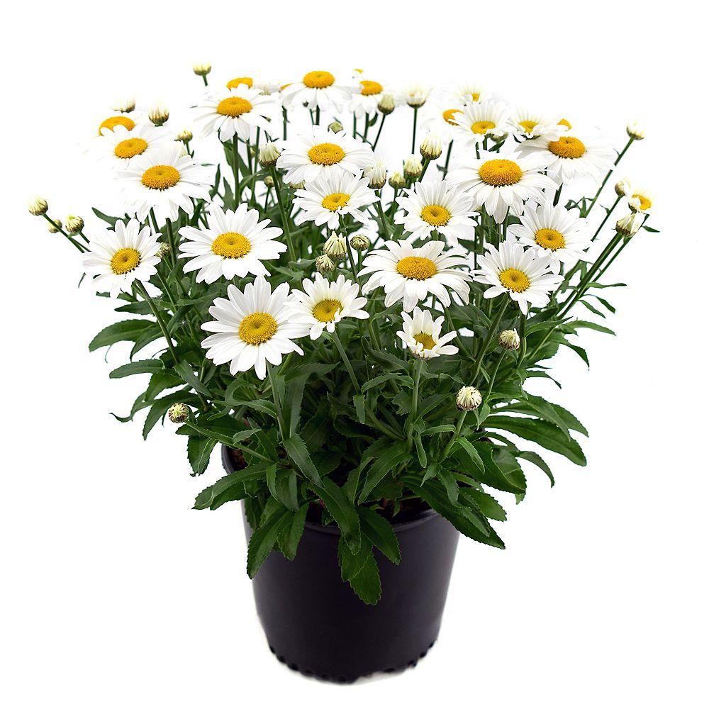 Garden Elements Marguerite 'Snowcap' blanche en pot de 2 gallons (Leucanthemum)