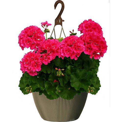 10 inch Hanging Basket Geranium Pink