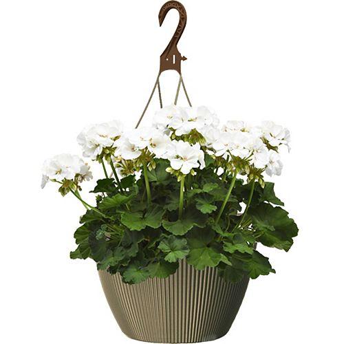 10 inch Hanging Basket Geranium White