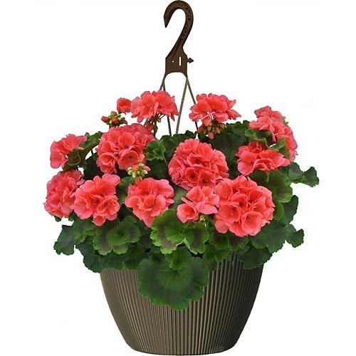 Landscape Basics 10 inch Hanging Basket Geranium Coral