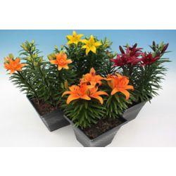 Landscape Basics Mother's Day Lily 26cm Orange