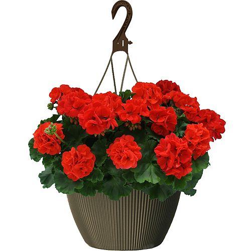10 inch Hanging Basket Geranium Red