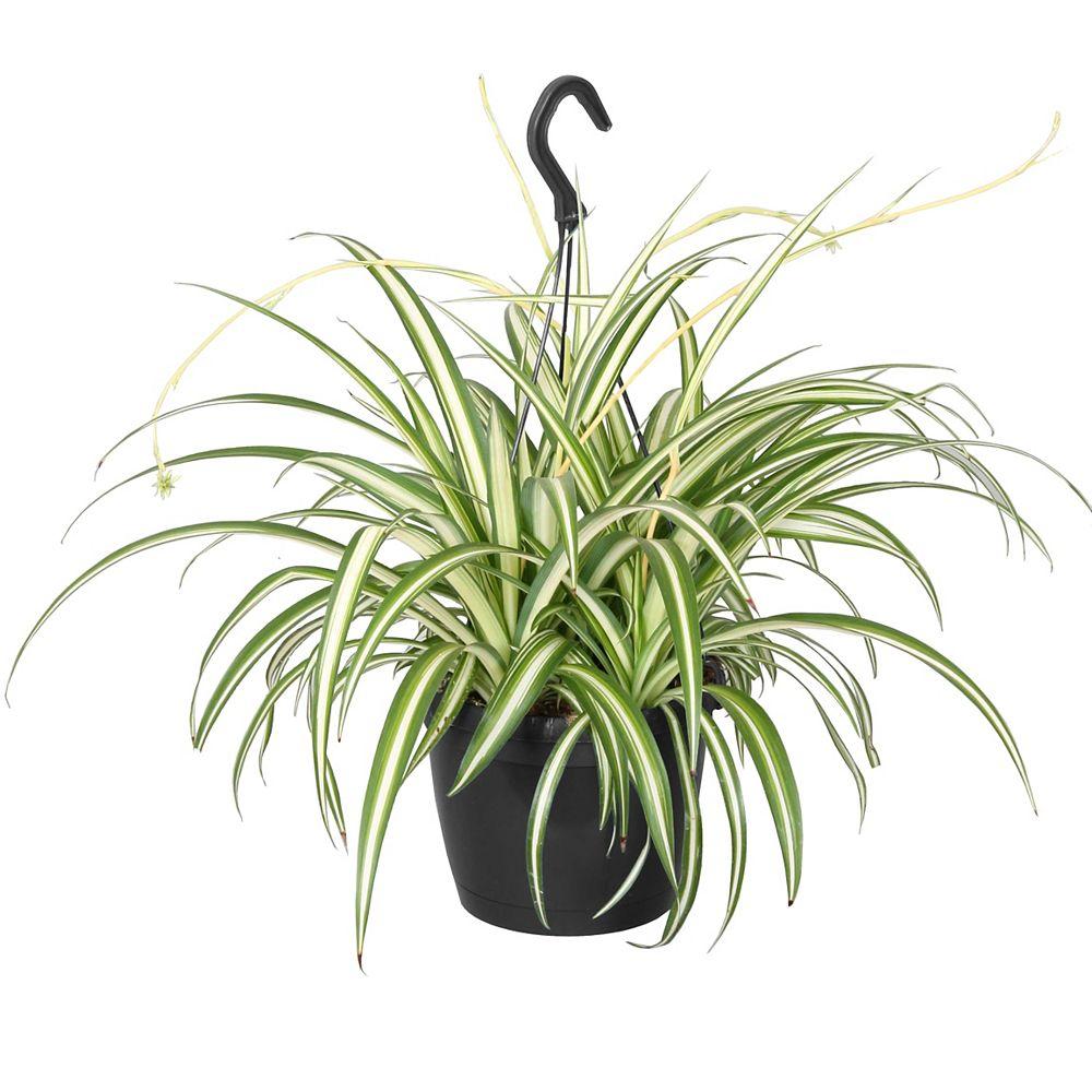 Foliera 8-inch Spider Plant Variegated in Hanging Basket