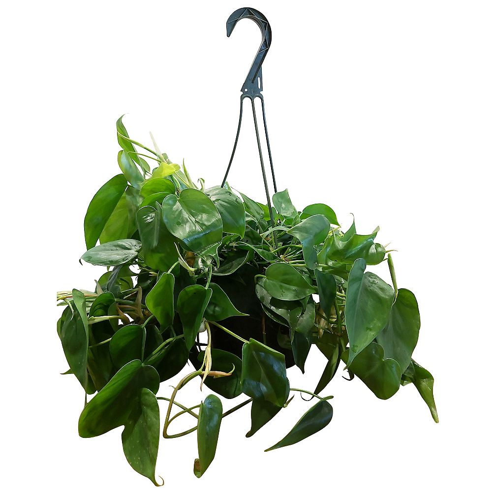 Foliera 8-inch Green Philodendron Tropical Plant in Hanging Basket
