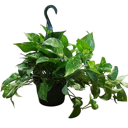 "8"" Pothos in Hanging Basket"
