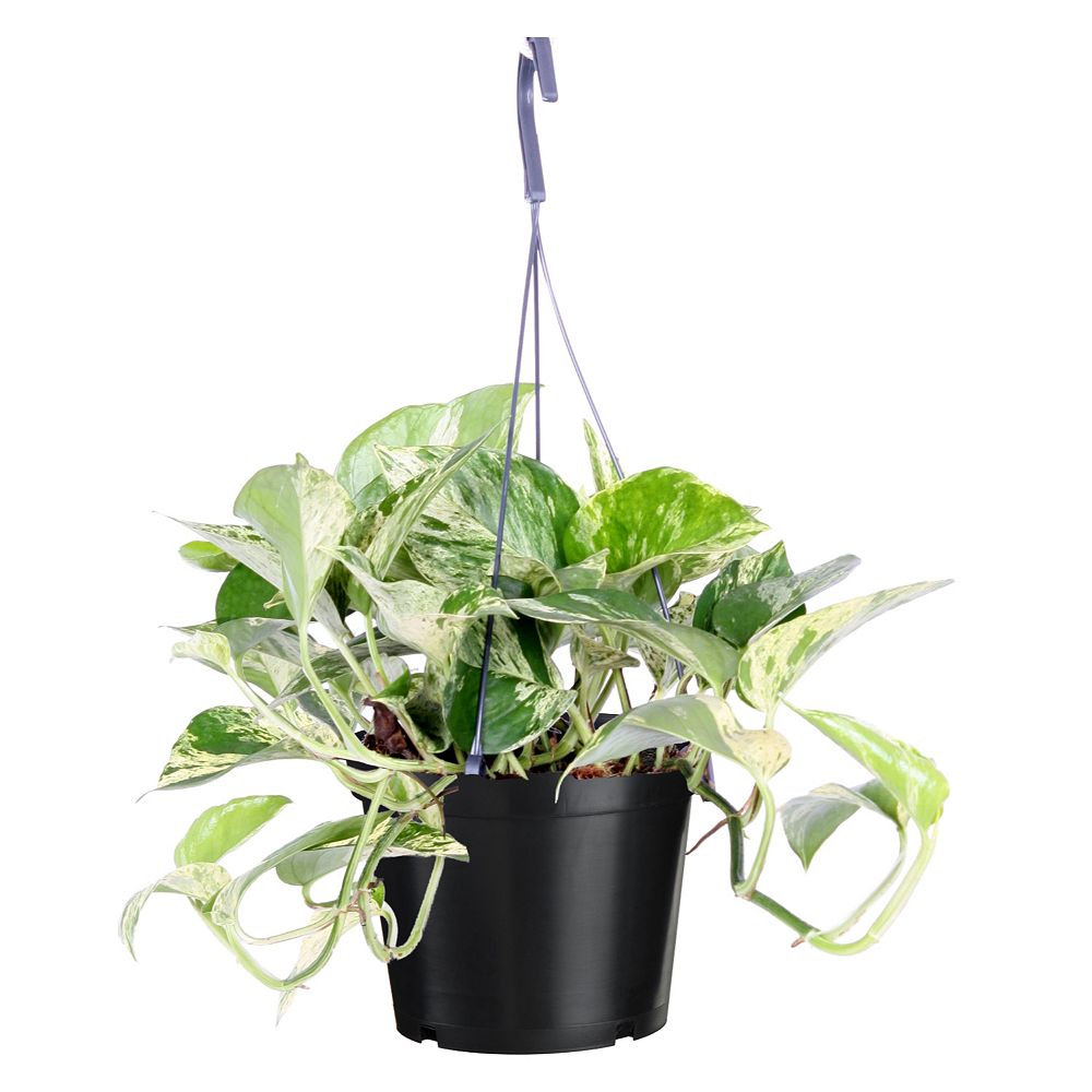 Foliera 8-inch  Marble Queen House Plant in Hanging Basket