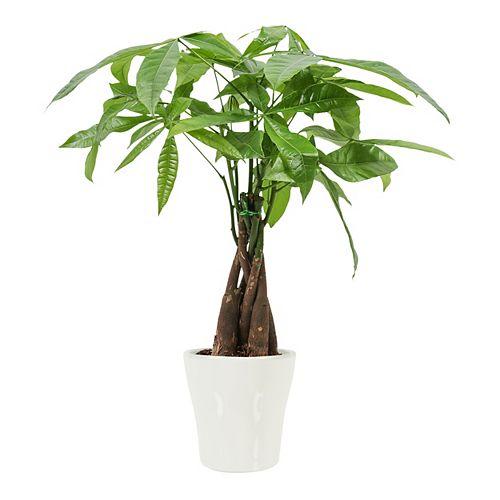 "Foliera 5"" Money Tree in White Ceramic"
