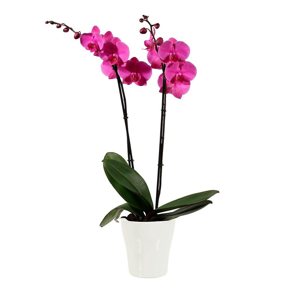 Foliera Orchidee Phalaenopsis Rose 5P 2 tiges avec pot Ceramique Blanc