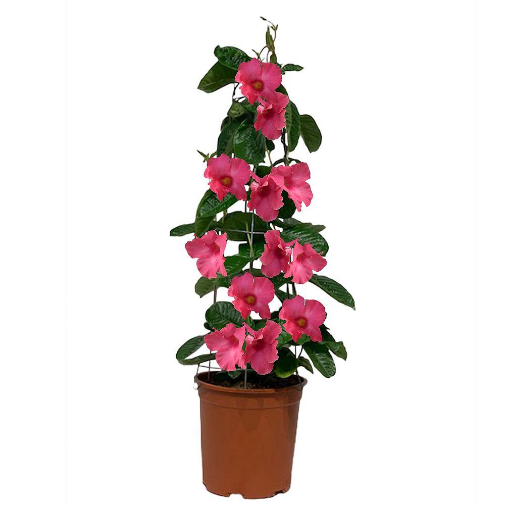 Foliera 11-inch Pink Large Leaf Mandevilla Tropical Vine on Trellis