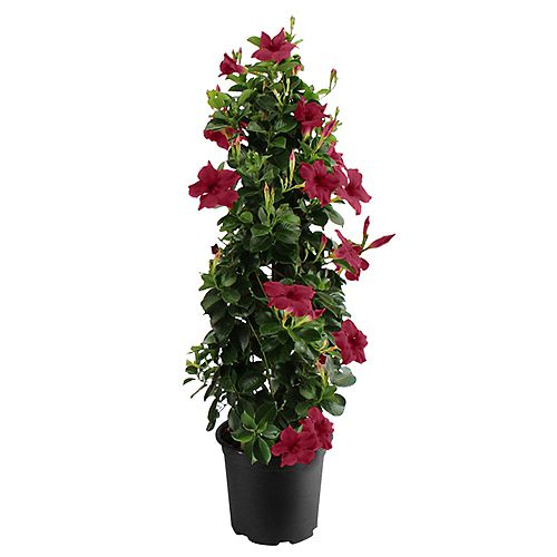 "11"" Mandevilla Vining Merlot Small Leaf on Trellis"