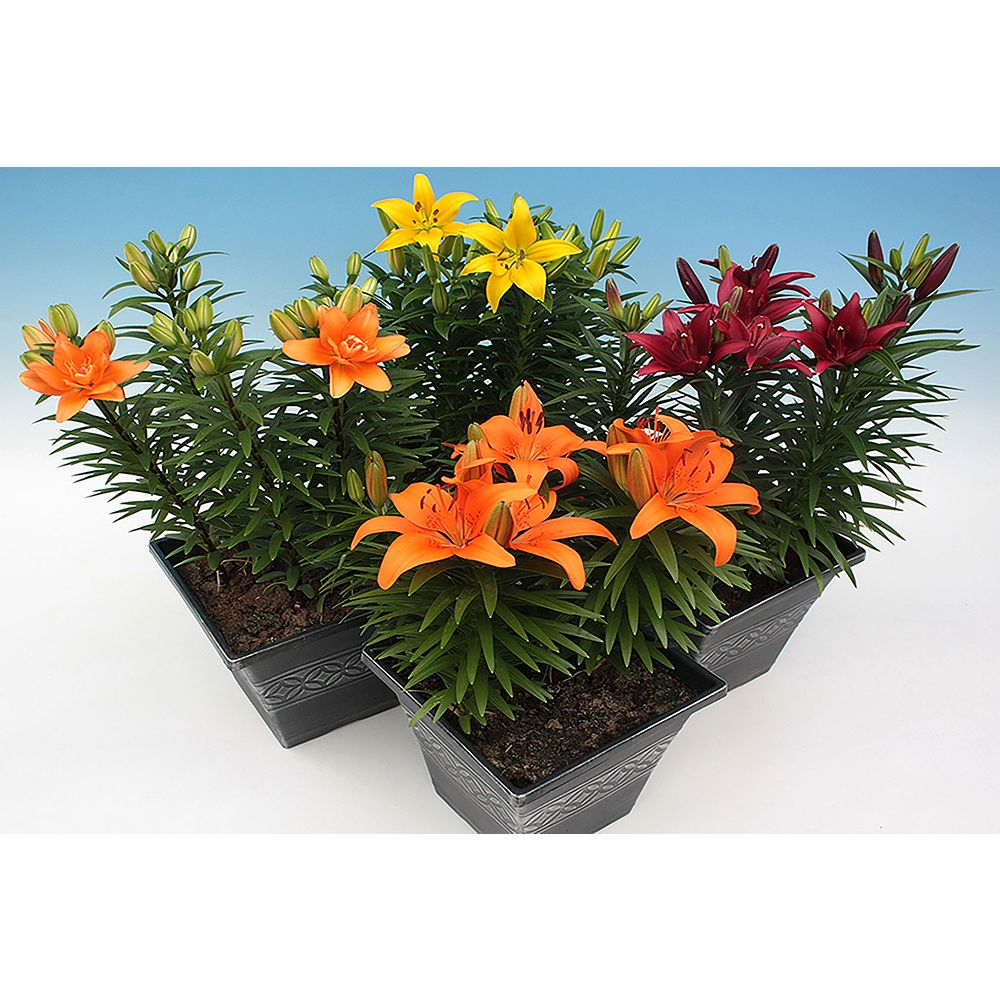 Landscape Basics Mother's Day Lily 26cm Yellow
