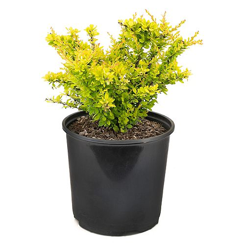 Garden Elements 2 Gallon Sunsation Yellow Barberry (Berberis)