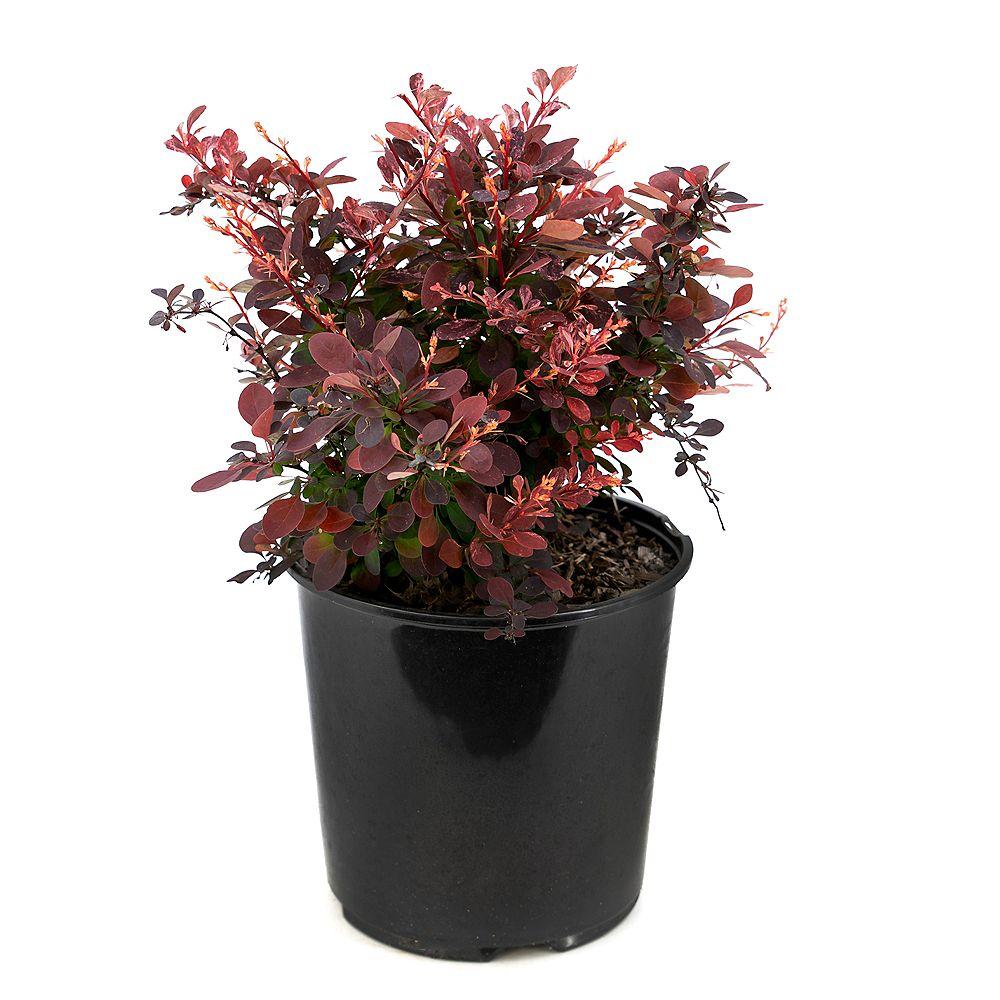 Garden Elements 7.5L Rose Glow Barberry (Berberis) Shrub