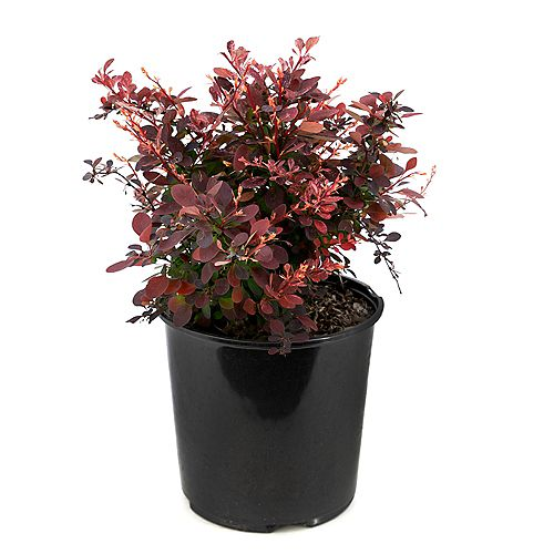 Garden Elements 2 Gallon Rose Glow Barberry (Berberis)